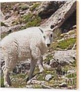 Mountain Goat Kid On Mount Evans Wood Print