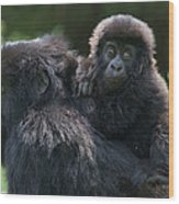 Mountain Gorilla And Infant  Wood Print