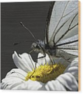 Pine White Butterfly Wood Print