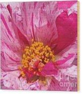 Portulaca Named Sundial Peppermint Wood Print