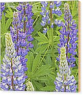 Purple Lupine Flowers Wood Print