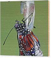 Queen Butterfly Wood Print