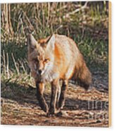 Red Fox In Prospect Park Wood Print