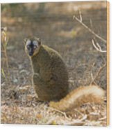Red-fronted Brown Lemur Wood Print
