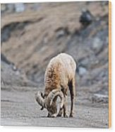 Rocky Mountain Big Horned Sheep Wood Print