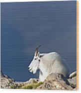 Rocky Mountain Goat Wood Print