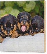 3 Rottweiler Puppies Wood Print