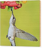 Ruby-throated Hummingbird Female Wood Print
