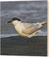 Sandwich Tern Wood Print