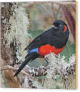 Scarlet-bellied Mountain-tanager Wood Print