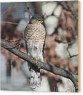 Sharp-shinned Hawk 2 Wood Print