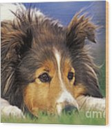 Shetland Sheepdog Wood Print