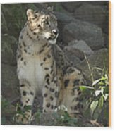 Snow Leopard On The Prowl Wood Print