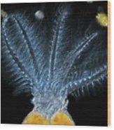 Stephanoceros Fimbriatus Rotifer Wood Print