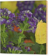 Sulphur Butterfly In The Phoebis Family Wood Print