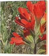 Texas Paintbrush Wood Print