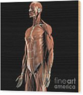 The Muscles Of The Upper Body Wood Print