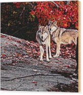 Timber Wolves Under A Red Maple Tree - Pano Wood Print