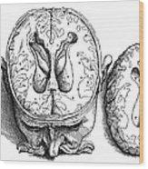 Vesalius: Brain, 1543 Wood Print