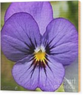 Viola Named Sorbet Blue Heaven Jump-up Wood Print