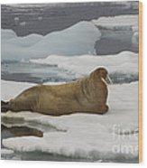 Walrus Resting On Ice Floe Wood Print