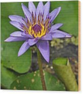 Water Lily  9 Wood Print