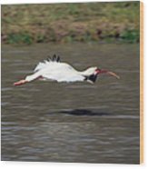 White Ibis In Flight Wood Print