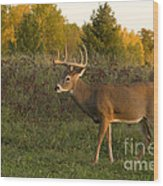 White-tailed Buck In Fall Wood Print