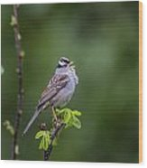Whitecrowned Sparrow Wood Print