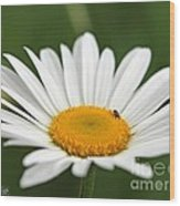 Wildflower Named Oxeye Daisy Wood Print