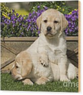 Yellow Labrador Puppies Wood Print