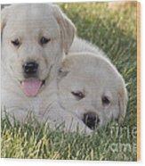 Yellow Labrador Retriever Puppies Wood Print