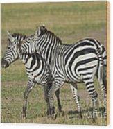 Zebra Males Fighting Wood Print
