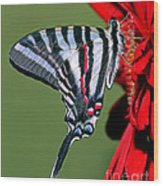 Zebra Swallowtail Butterfly Wood Print