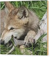 Gray Wolf Pup Wood Print