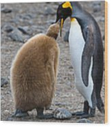 King Penguins Wood Print