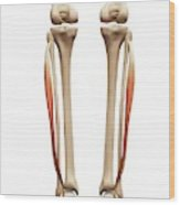 Leg Muscles Wood Print