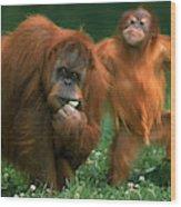 Orang Outan Pongo Pygmaeus Wood Print