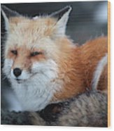 A Red Fox  On The Summit Of Mt Wood Print