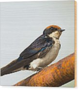 A Wire-tailed Swallow Perching Wood Print