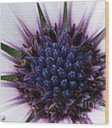 African Daisy Named Soprano White Wood Print