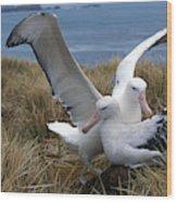 Albatros Royal Diomedea Epomophora Wood Print