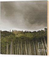 Aspen Trees In Vail Wood Print