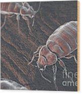 Bed Bugs Cimex Lectularius Wood Print