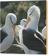 Black Browed Albatross Pair Wood Print