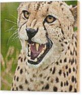 Cheetah Acinonyx Jubatus Big Cat  Wood Print