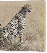 Cheetah Searching For Prey Wood Print