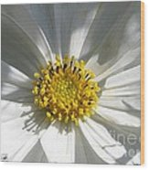 Cosmos Named Sensation Alba Wood Print