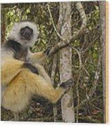Diademed Sifaka Madagascar Wood Print
