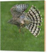 Epervier Deurope Accipiter Nisus Wood Print